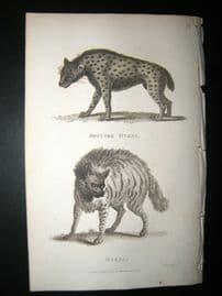 Shaw C1810 Antique Print. Spotted Hyaena & Hyaena