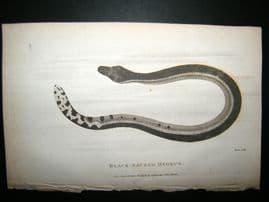 Shaw C1810 Antique Print. Surinam Snake