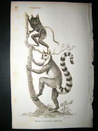 Shaw C1810 Antique Print. Tarser & Ring Tailed Lemur