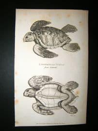Shaw C1810 Antique Print. The Loggerhead Turtle