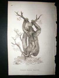 Shaw C1810 Antique Print. Three Toed Sloth