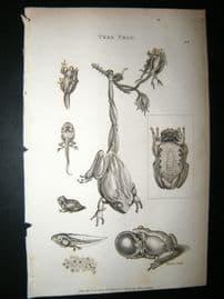 Shaw C1810 Antique Print. Tree Frog