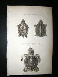 Shaw C1810 Antique Print. Tricarninated Tortoise, Loggerhead Turtle (young)