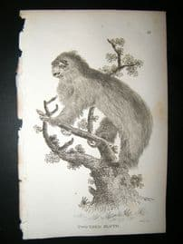 Shaw C1810 Antique Print. Two-Toed Sloth
