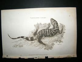 Shaw C1810 Antique Print. Variegated Lizard