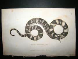 Shaw C1810 Antique Print. Viper Headed Snake