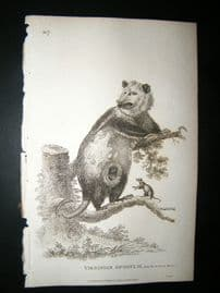 Shaw C1810 Antique Print. Virginian Opossum