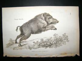 Shaw C1810 Antique Print. Wild Boar