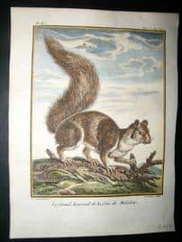 Sonnerat India 1782 Antique Hand Col Print. Great Squirrel of Malabar Coast