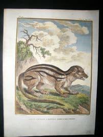 Sonnerat India 1782 Antique Hand Col Print. Indian Savage Cat