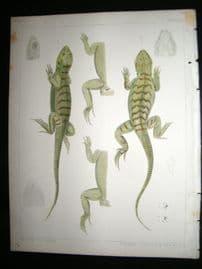 Spencer Baird & Joseph Henry 1860 Hand Col Print. California Lizards 8