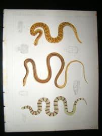 Spencer Baird & Joseph Henry 1860 Hand Col Print. California Snakes 4