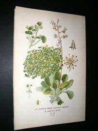 Step 1897 Antique Botanical Print. A) London Pride,  Huleii