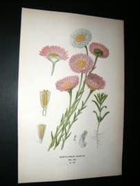 Step 1897 Antique Botanical Print. Acroclinium Roseum