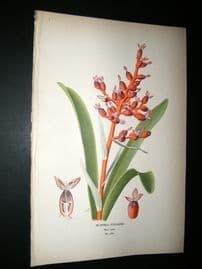 Step 1897 Antique Botanical Print. Aechmea Fulgens