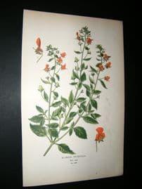 Step 1897 Antique Botanical Print. Alonsoa Incisifolia