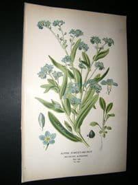 Step 1897 Antique Botanical Print. Alpine Forget-Me-Not