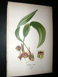 Step 1897 Antique Botanical Print. Aspidistra Lurida
