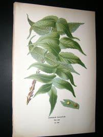 Step 1897 Antique Botanical Print. Aspidium Falcatum