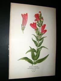 Step 1897 Antique Botanical Print. Beard-Tongue