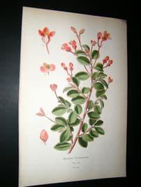 Step 1897 Antique Botanical Print. Begonia Fuchsioides