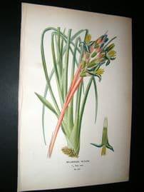 Step 1897 Antique Botanical Print. Bilbergia Nutans