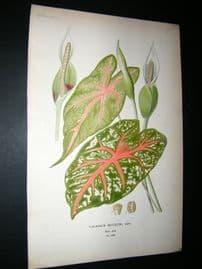 Step 1897 Antique Botanical Print. Caladium Bicolor