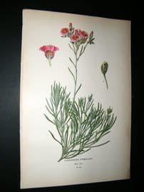Step 1897 Antique Botanical Print. Calandrinia Umbelata