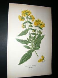 Step 1897 Antique Botanical Print. Calceolaria Rugosa