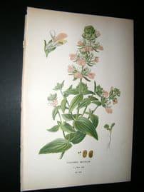 Step 1897 Antique Botanical Print. Callinsia Bicolor