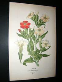Step 1897 Antique Botanical Print. Campion