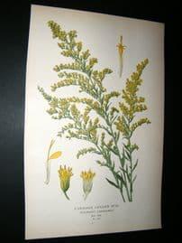 Step 1897 Antique Botanical Print. Canadian Gold Rod