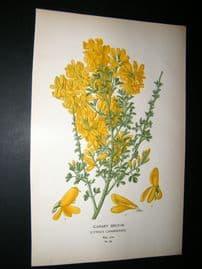 Step 1897 Antique Botanical Print. Canary broom