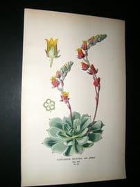 Step 1897 Antique Botanical Print. Catyledon Secunda