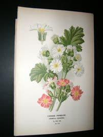 Step 1897 Antique Botanical Print. Chinese Primrose