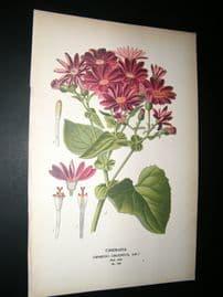 Step 1897 Antique Botanical Print. Cineraria