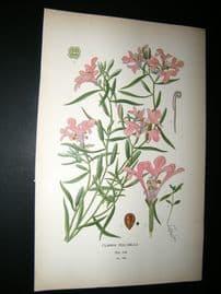 Step 1897 Antique Botanical Print. Clarkia Pulchella