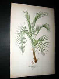 Step 1897 Antique Botanical Print. Coco's Weddeliana