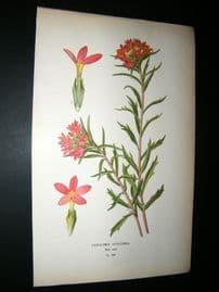 Step 1897 Antique Botanical Print. Collomia Coccinea