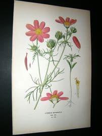 Step 1897 Antique Botanical Print. Cosmos Bipinnatus