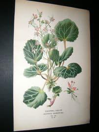 Step 1897 Antique Botanical Print. Creeping Sailor