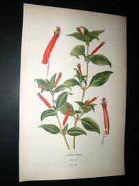 Step 1897 Antique Botanical Print. Cuphea Ignea