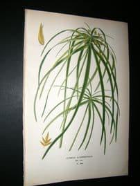 Step 1897 Antique Botanical Print. Cyperus Alternifolius
