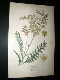 Step 1897 Antique Botanical Print. Dropwort