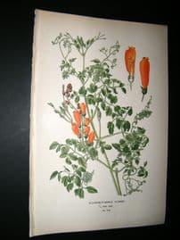 Step 1897 Antique Botanical Print. Eccremocarpus