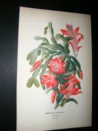 Step 1897 Antique Botanical Print. Epiphyllum Truncatum