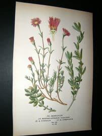 Step 1897 Antique Botanical Print. Fig Marigolds