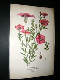 Step 1897 Antique Botanical Print. Garden Flax