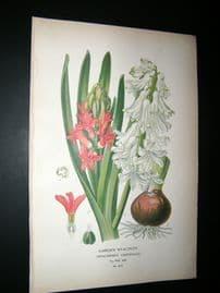 Step 1897 Antique Botanical Print. Garden Hyacinth