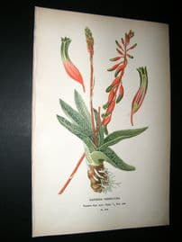 Step 1897 Antique Botanical Print. Gasteria Verrucasa